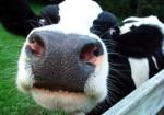 cows-road-trip-games