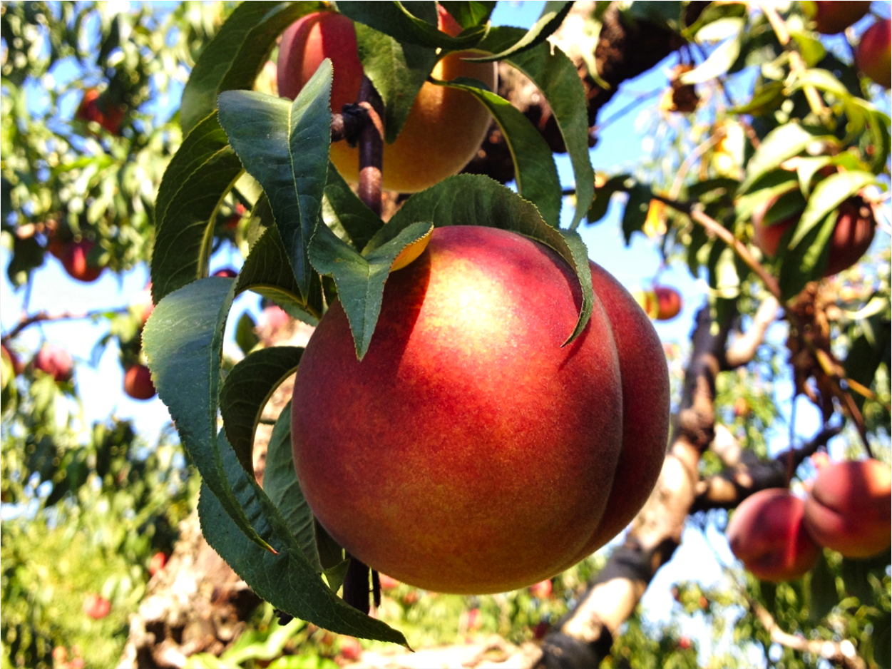 orchards apples hood river