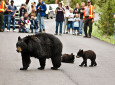 bears yellowstone