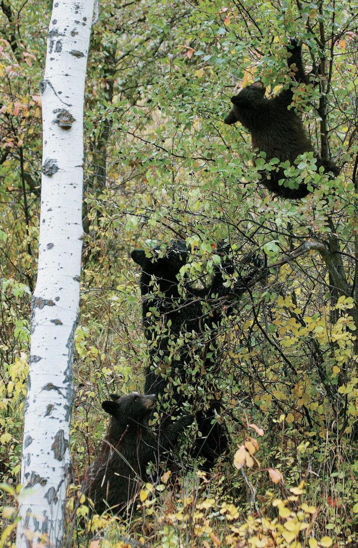 black bears climbing