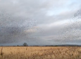 Starling Murmuration Captures Stunning Beauty Of Nature [VIDEO]