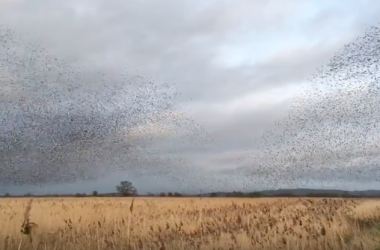 Starling Murmuration Captures Stunning Beauty Of Nature [VIDEO]