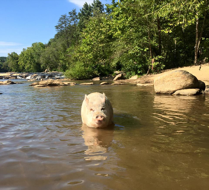 ziggy the traveling pig
