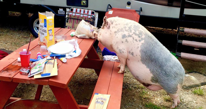 Meet Ziggy: The 250-Pound Pig Who's Traveled All Over The Country In An RV