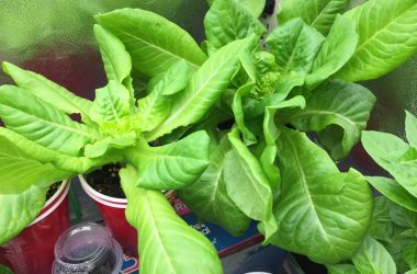How To Grow Your Own Lettuce Using Solo Cups In Your RV