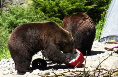 Check Out This Incredible Footage Of Grizzly Bears Destroying A Campsite