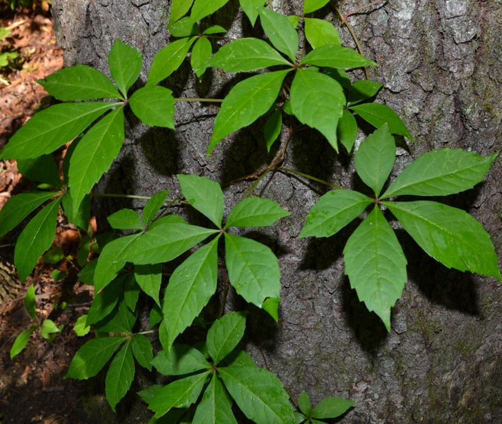 How To Identify Poison Ivy From Other Plants With Photos