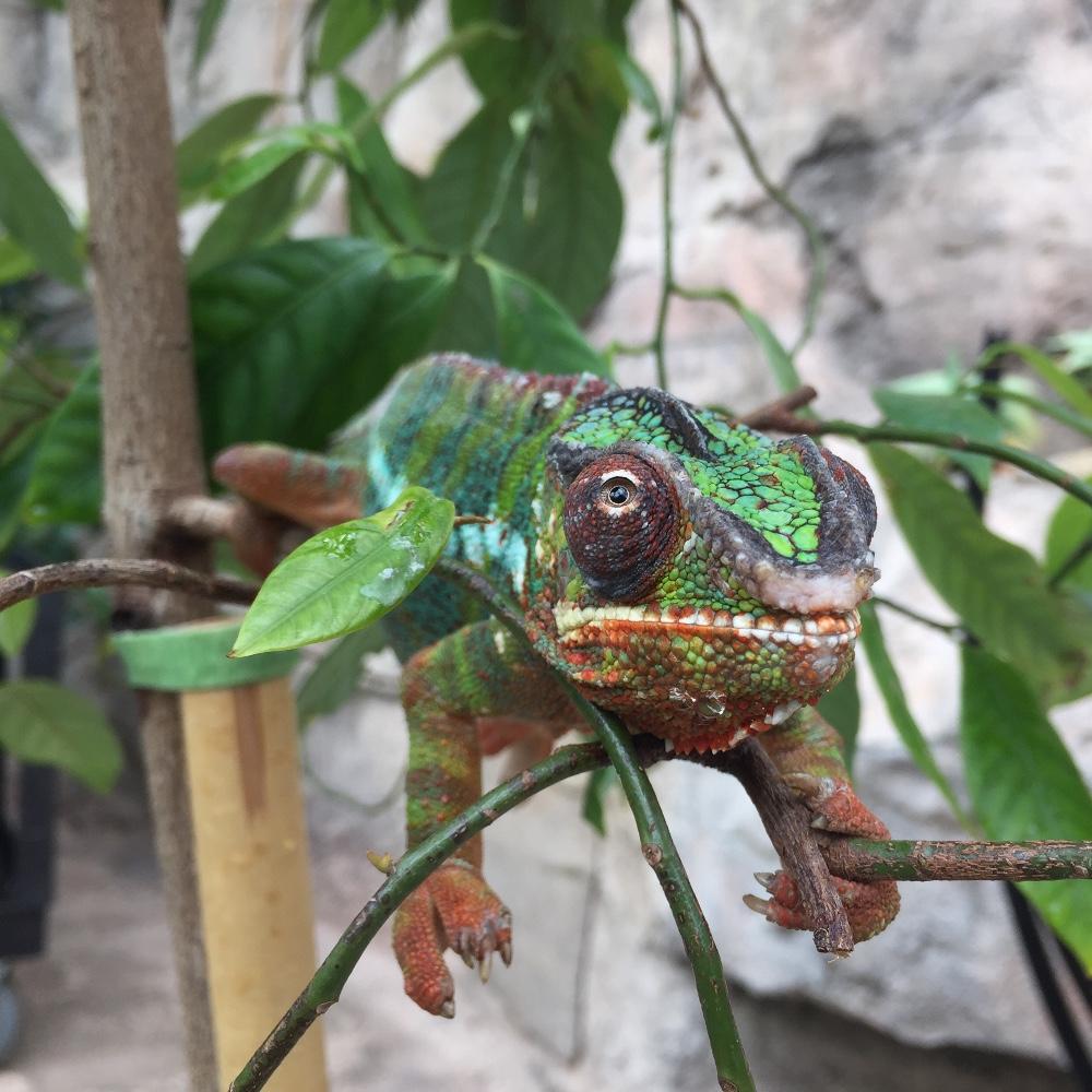 Chameleon at Cleveland Gardens