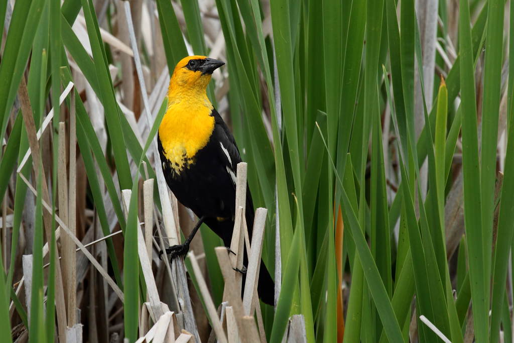 A Perfect Road Trip - A male Yellow-headed Blackbird at 100 Mile House. Alan Vernon Flickr