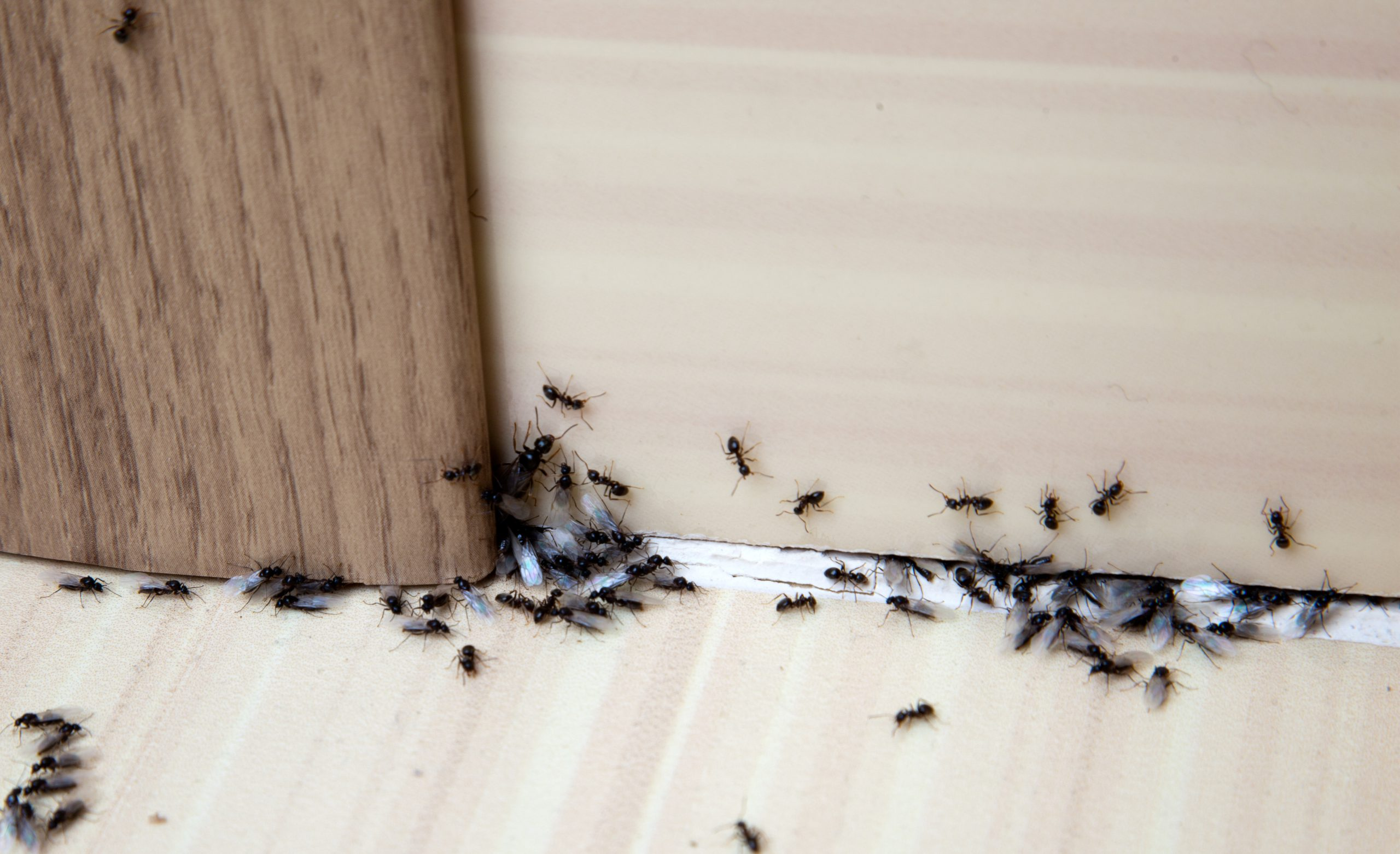 applying a natural ant killer to ants inside